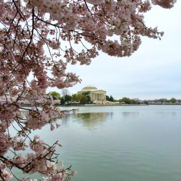 Visiting the National Cherry Blossom Festival in DC