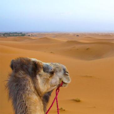 Camel Trekking and Desert Camping in the Sahara