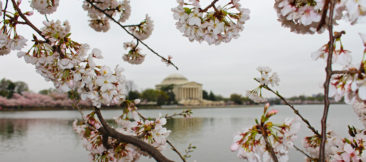 DC Cherry Blossoms and the Jefferson Memorial