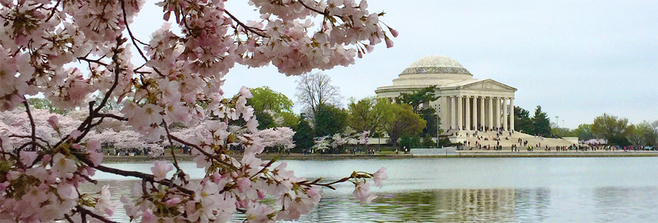 Visiting The National Cherry Blossom Festival In Washington Dc,Perennials Plant With Purple Flowers And Green Leaves