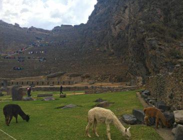 Llamas at Ollantaytambo
