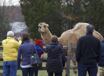 Mount Vernon Christmas Camel