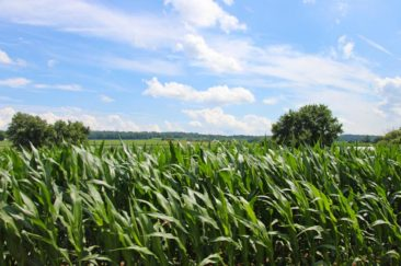 Corn Fields in Amish Country