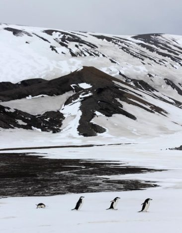 Chinstrap Penguins in Antarctica