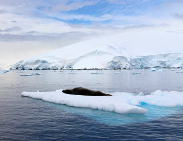 Seal on an Iceberg in Antarctica