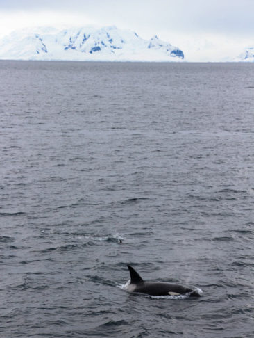 Orca Whale in Antarctica