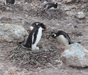 Penguin Nests