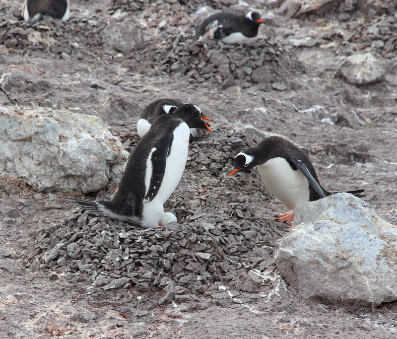 Penguin Nests in Antarctica