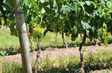 Tannat Vineyards