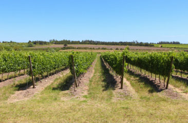Wine Vineyards in Uruguay