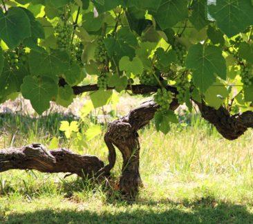 Tannat Vineyards
