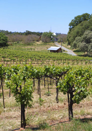 Vineyards at Amador Cellars
