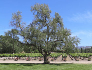 Fess Parker Vineyards
