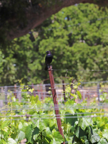A bird looking out over the vineyards in California