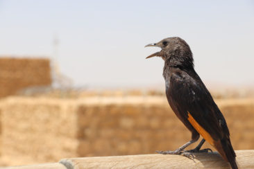 One of the friendly birds at Masada