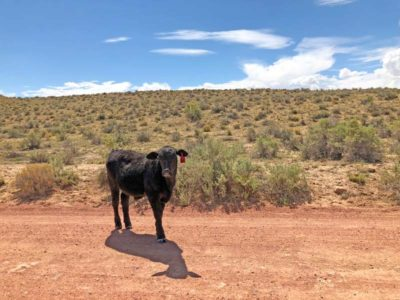 Cow greeting us on the road to Chaco Culture National Historical Park