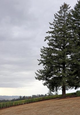 Evergreen Trees and Wine Vineyards - Iconic Oregon!