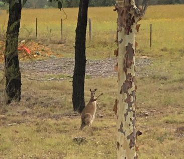 Friendly Kangaroos in the Vineyards