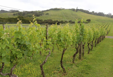 Auckland Wine Country vineyards
