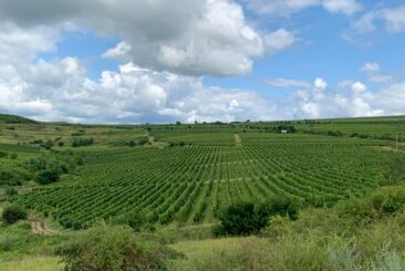 LacertA Winery's Vineyards in Romanian Wine Country