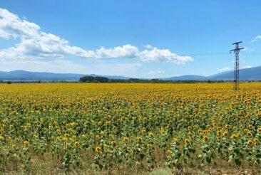 Sunflowers near Buzludzha