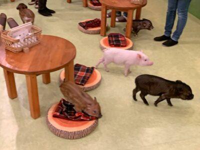 Mini Pig Cafe in Tokyo, Japan