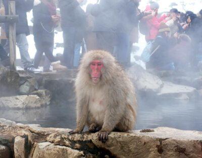 The snow monkeys of Nagano, Japan