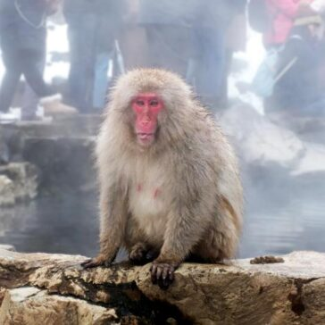 Nagano Snow Monkeys: A Day Trip from Tokyo, Japan