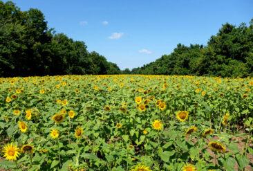 Maryland Sunflower Fields