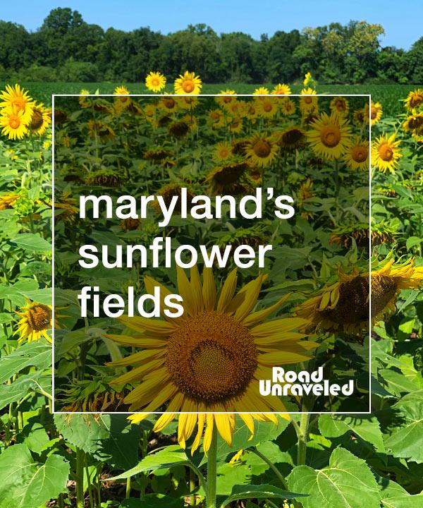 Maryland Sunflower Fields: A Summer Tradition
