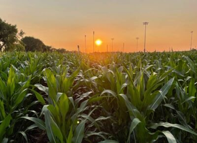 Field of Dreams Cornfields at Sunset